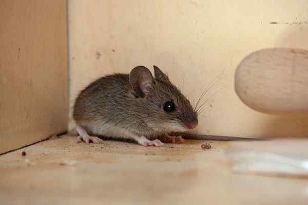 a common house mouse