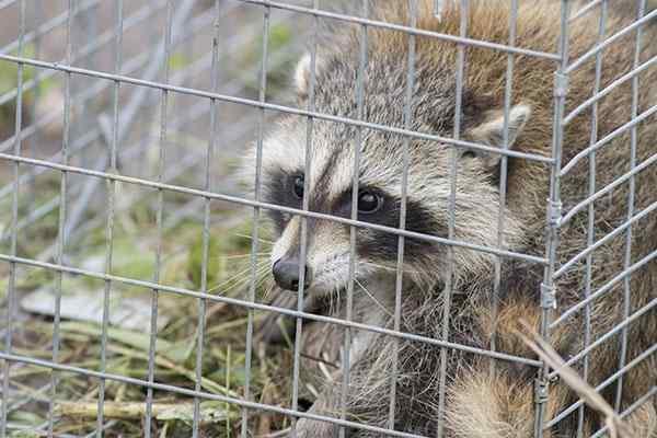 raccoon in a humane wildlife trap