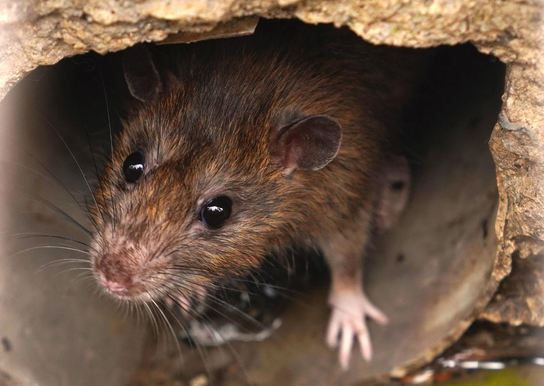 Miche Pest Control provides rodent control for businesses in DC, MD & VA
