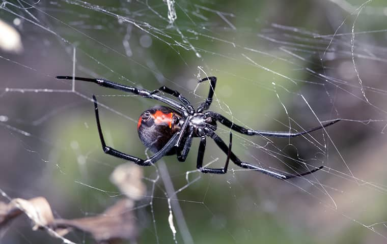 a black widow spider crawling in her web on a window in fairfax virginia
