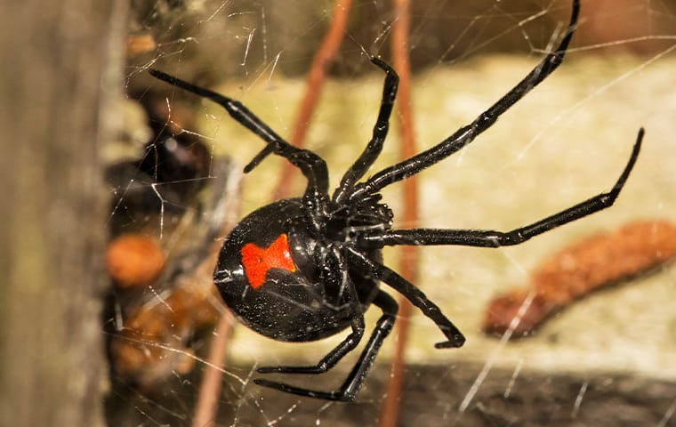 a black widow spider crawling through her web in a fairfax virginia basement