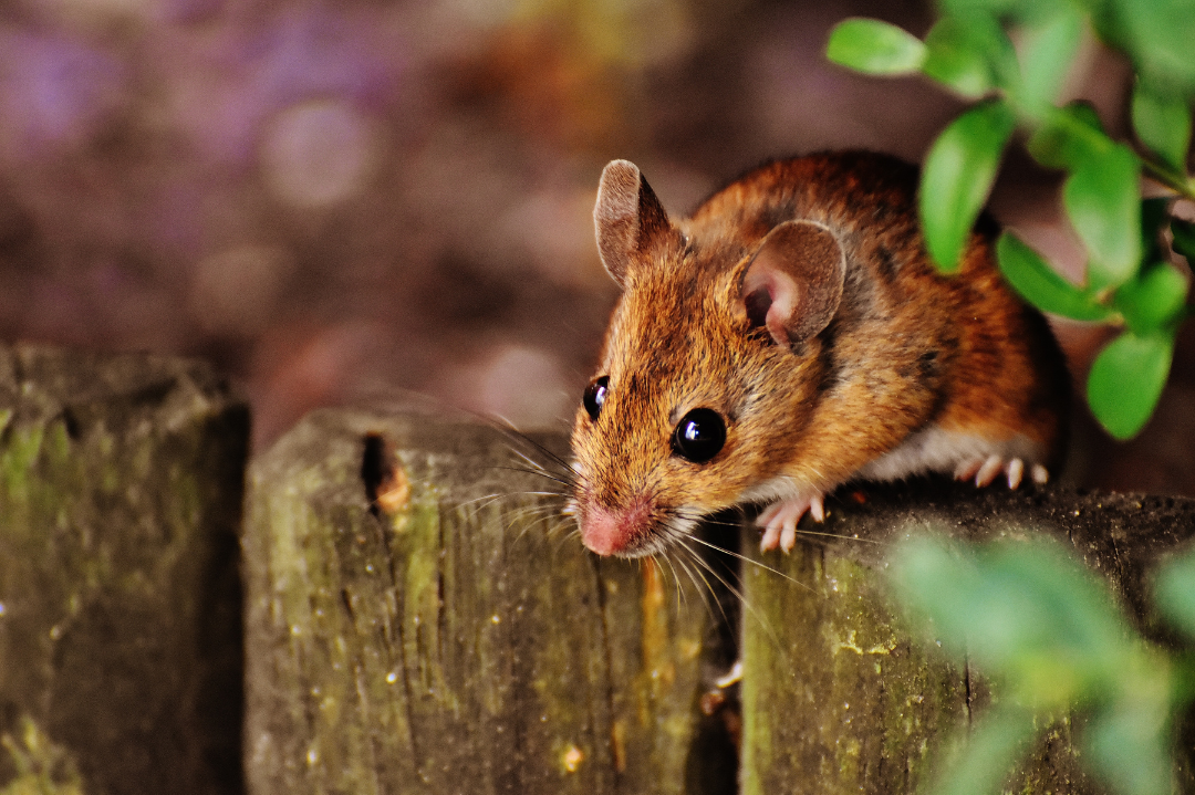 Miche Pest Control gets rid of mice from homes in DC, Maryland & Northern Virginia