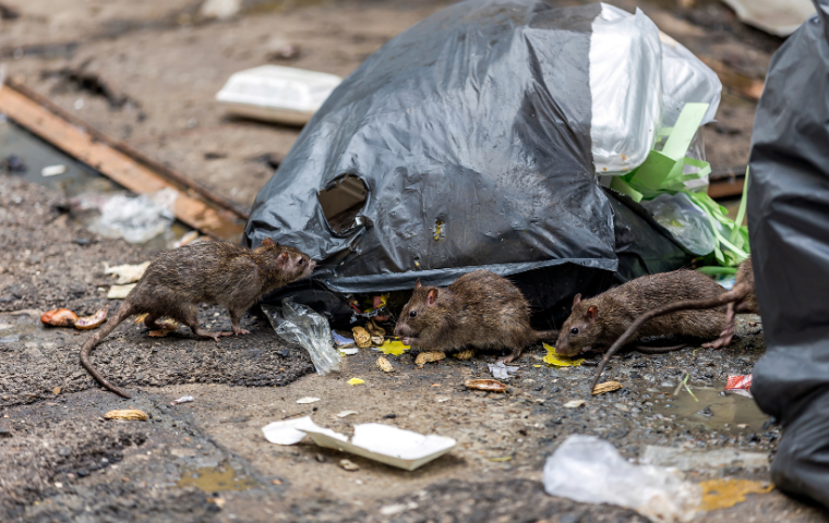 Norway Rats getting into a bag of trash in Washington DC