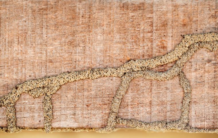 subterranean termite mud tubes in Washington DC