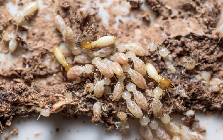 subterranean termites in Washington DC