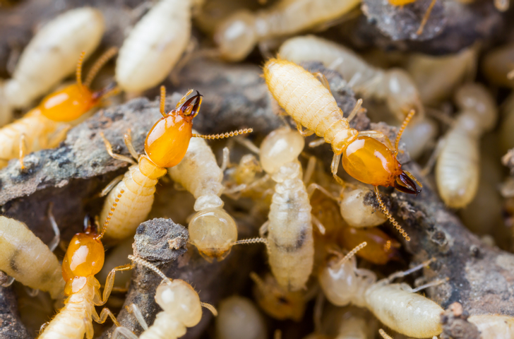 Subterranean Termites are light colored. Pictured are termite workers and termite soldiers.