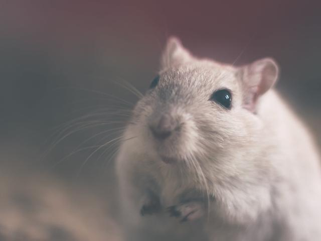 rodent in a rental home