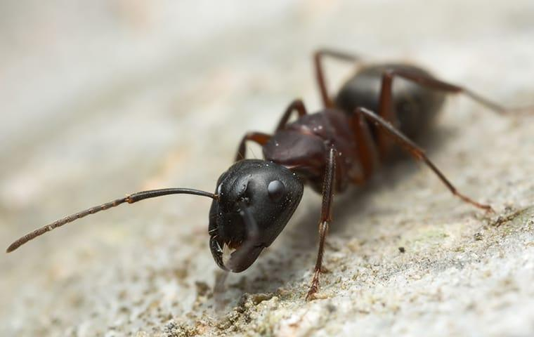 a carpenter ant crawling on the ground outside a home in fairfax virginia