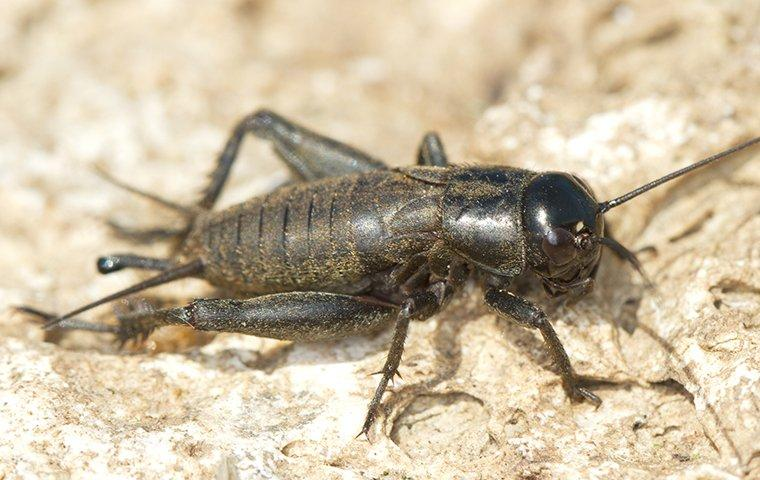 learn more about crickets in Northern VA, MD & DC