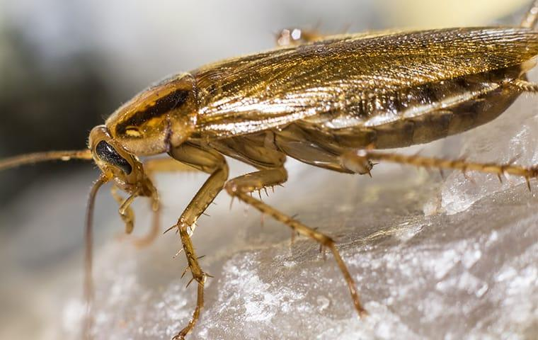 a german cockroach crawling around in a manassas virginia kitchen