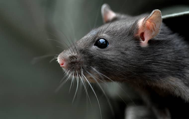 a rat up close inside of a home in ashton heights virginia