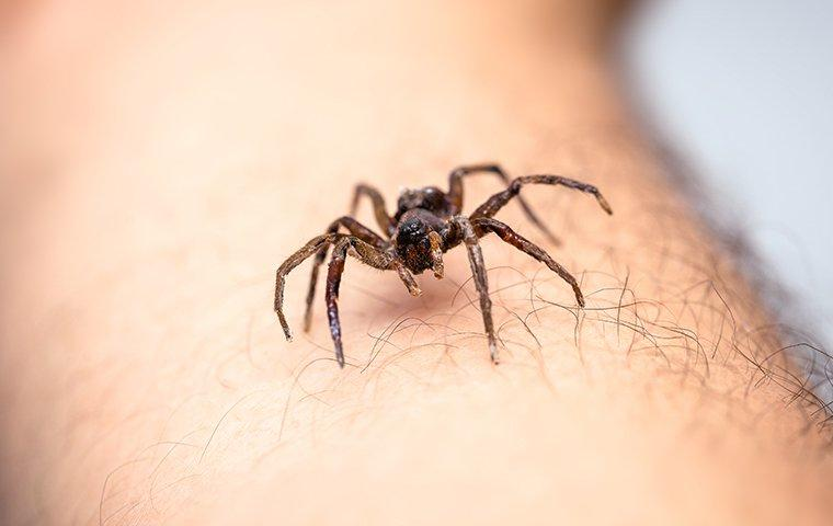 house spider crawling on an arm