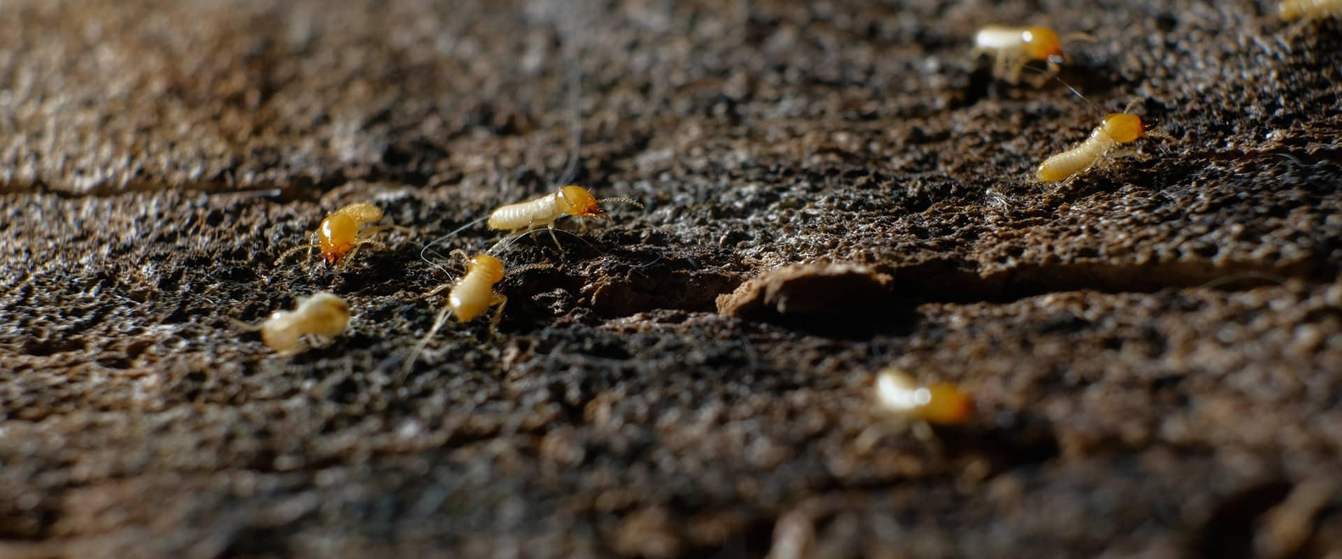 termites crawling on damaged wood in fairfax viginia
