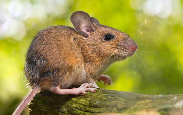 mouse & rodent control in northern virginia