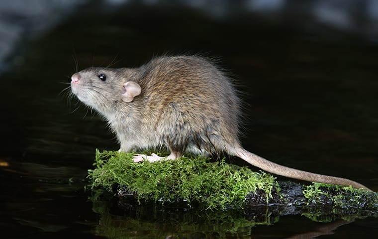 a norway rat outside of a home in fairfax virginia