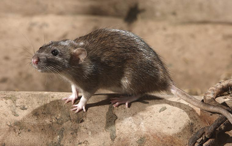 Miche Pest Control provides rodent control services for rats and mice in Washington DC and surrounding areas