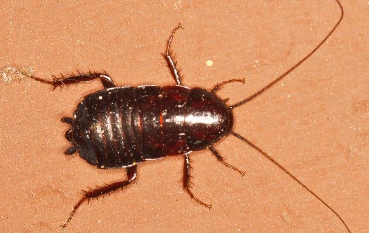 an oriental cockroach crawling on a kitchen floor in fairfax virginia