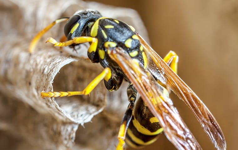 a paper wasp crawling on a nest on a home in fairfax virginia