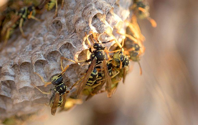 paper wasp swarming a nest
