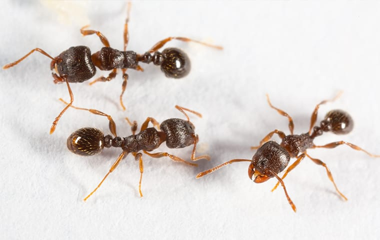 a group of pavement ants crawling on tile in a home in fairfax virginia