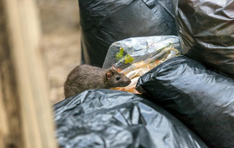 Rats & Mice can vector diseases like Salmonella and more