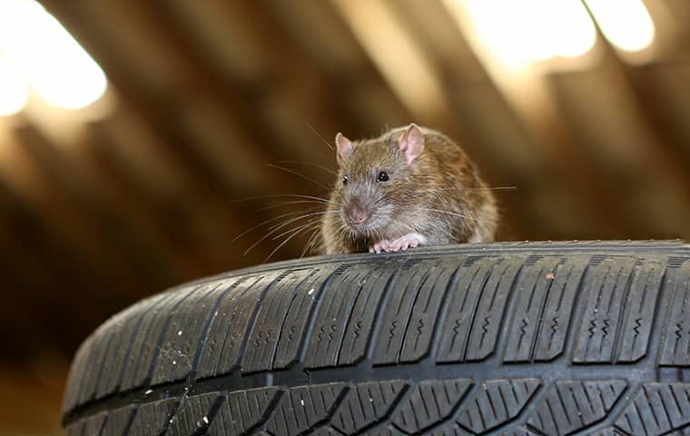 a rat on a tire inside of a residential attic in aberdeen maryland