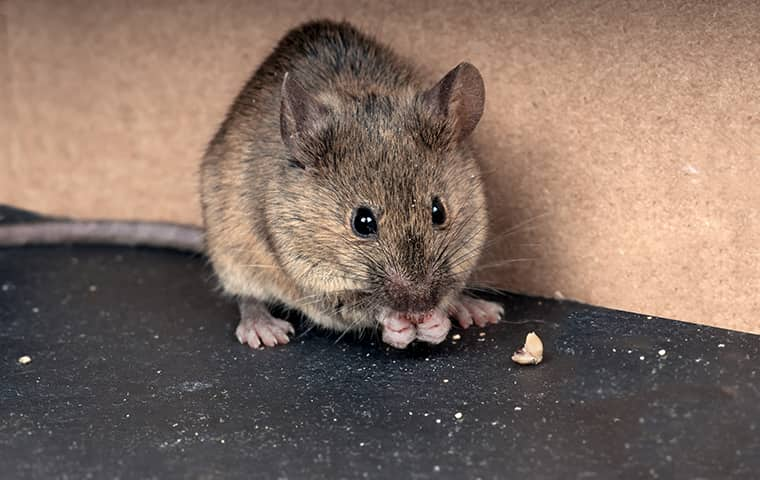 a mouse eating food inside a fairfax virginia kitchen