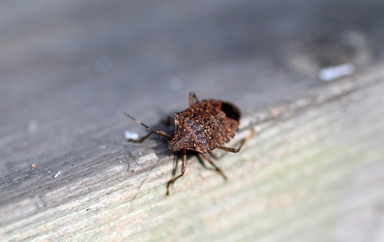 a stink bug crawling on the window sill of a baltimore maryland home