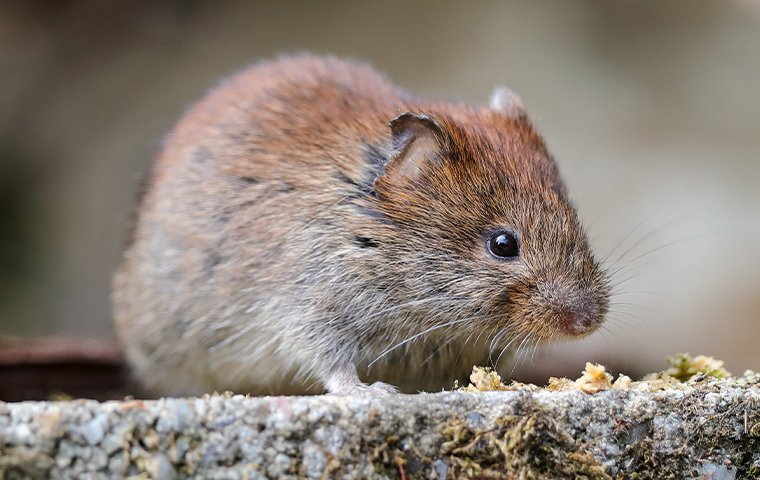 Learn more about voles in DC, Maryland & Northern VA