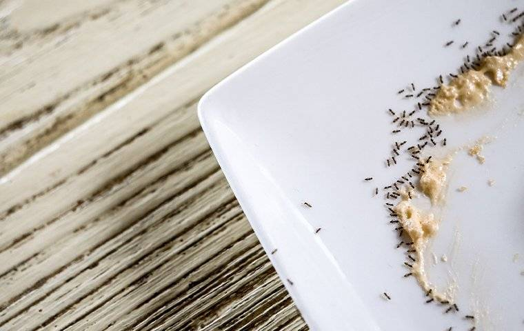 an ant infestation on kitchen dishes