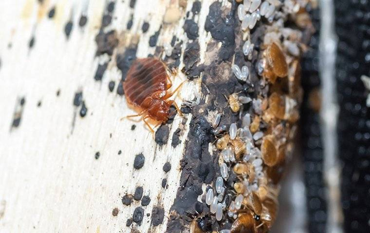 a bed bug infestation on a piece of furniture