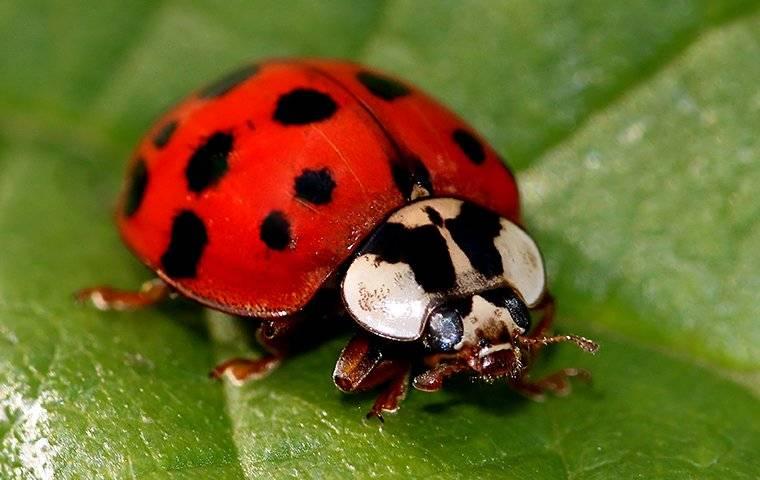 asian lady beetle on a plant inside house
