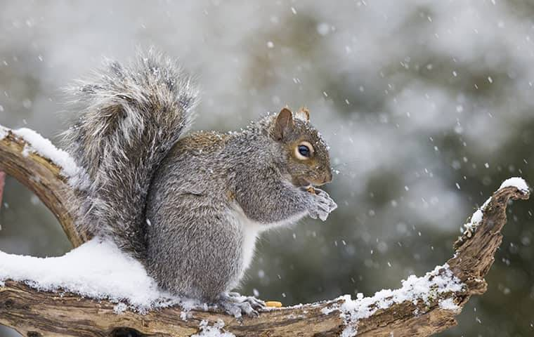 squirrel out on branch in snow