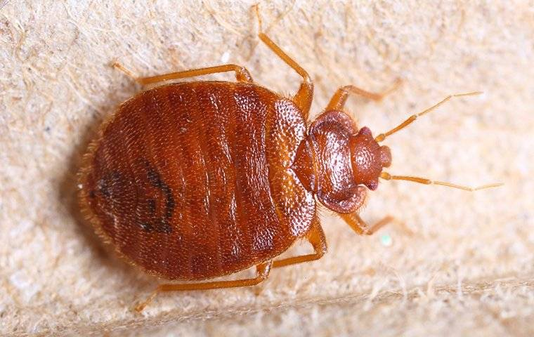 a bed bug crawling on furniture inside a home