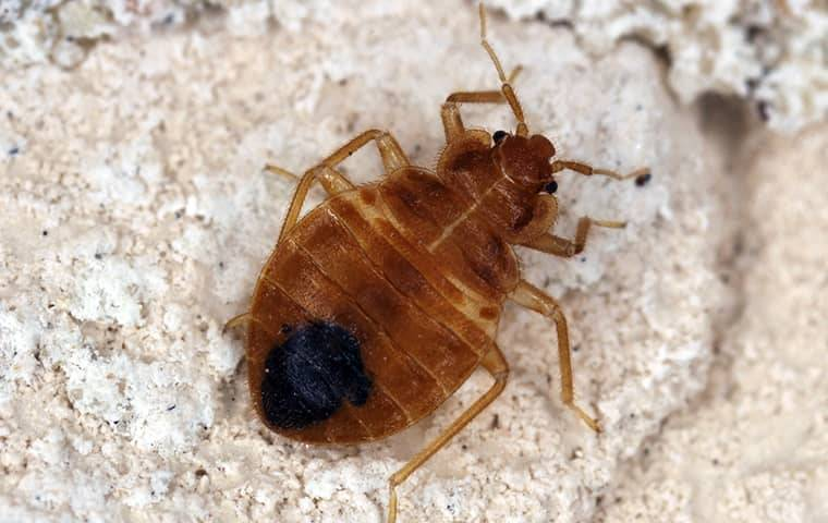 bed bug on a white stone background