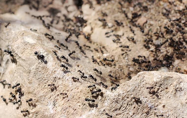 black ants on a white rock
