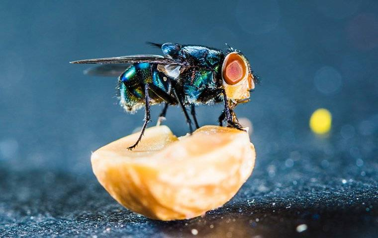 blow fly standing on food