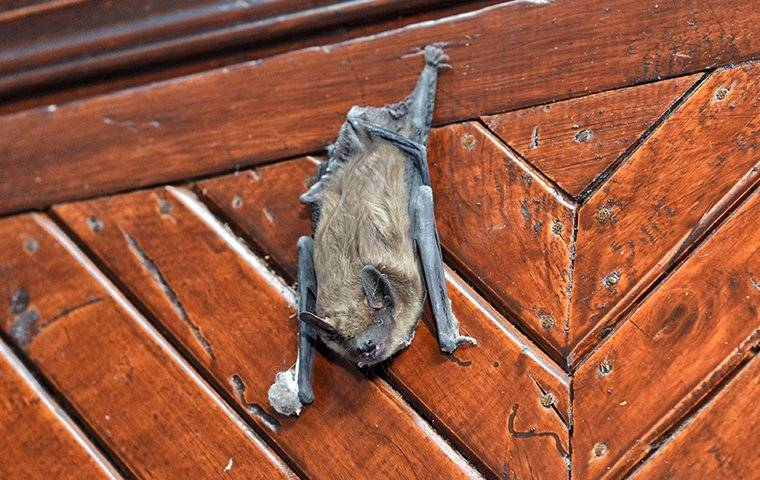 bat hanging from wood paneling in home
