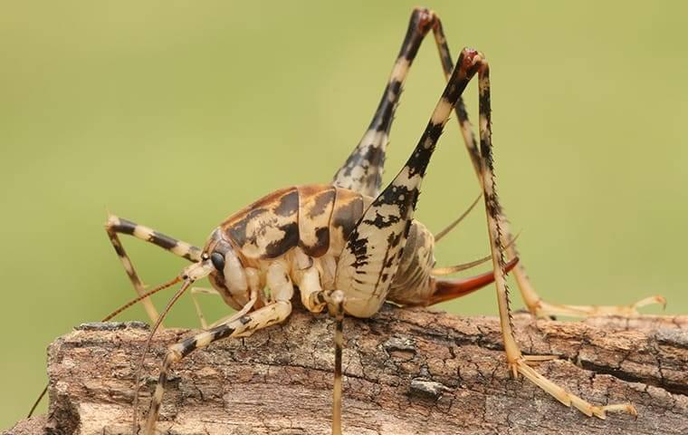 camelback cricket on wood outside