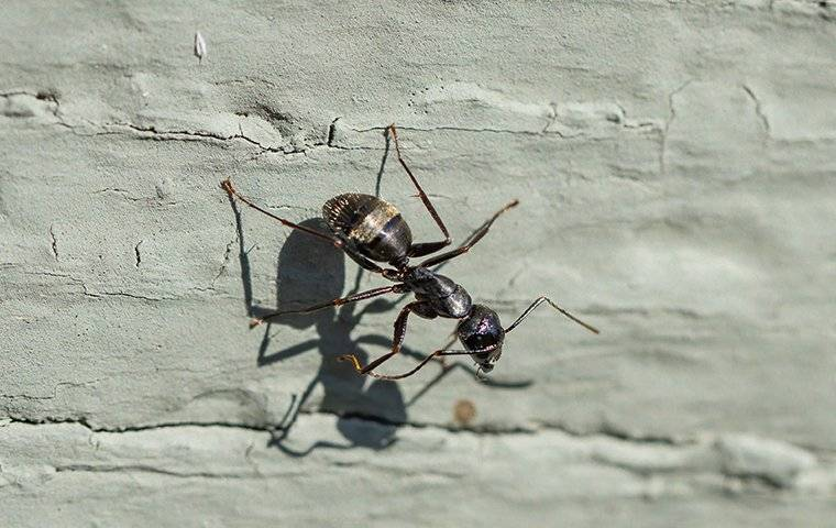 carpenter ant crawling on an ocean county home