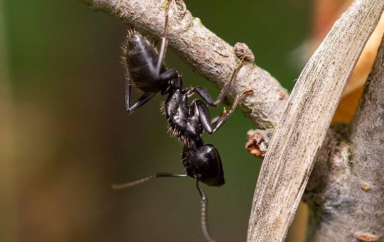 carpenter ant on plant in garden