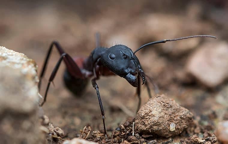 Carpenter Ant Crawling In A Garden