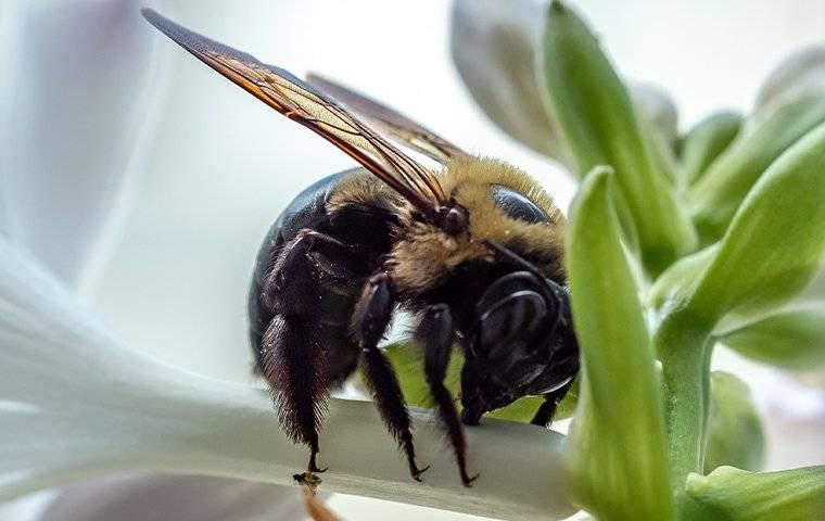 carpenter bee landing on petunia