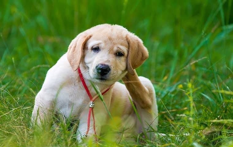 golden retriever puppy in grass scratching fleas