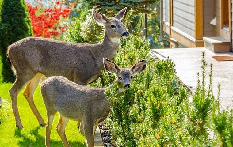 deer in front yard in spring