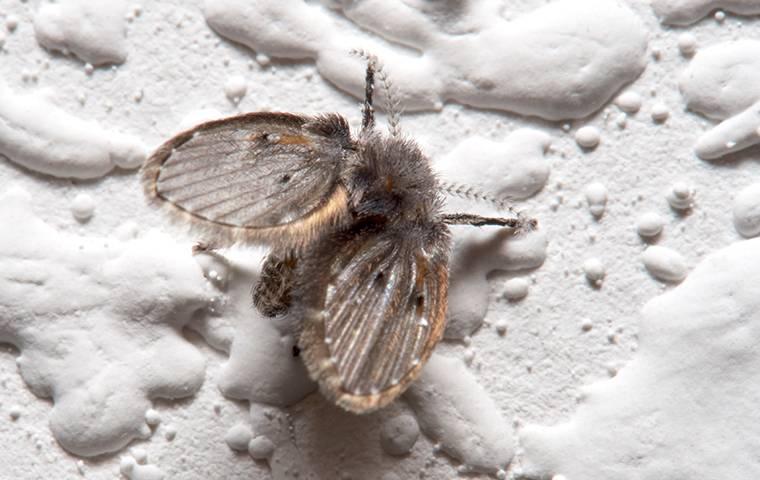 drain fly closeup on bathroom wall