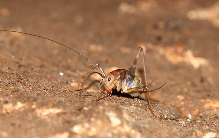 cricket up close outside