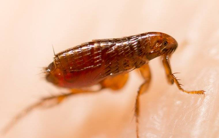 flea on skin close up