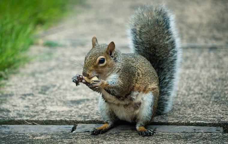 a gray squirrel eating a nut