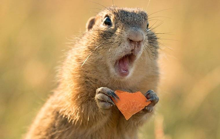 ground squirrel eating a carrot